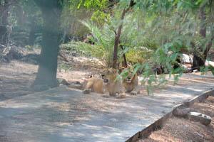 Сафари: львы на дороге