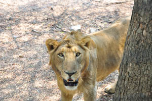 Сафари: лев наблюдает за мной