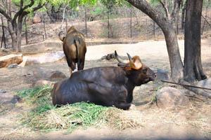 Гаур (индийский бизон)