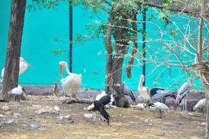 Белый пеликан