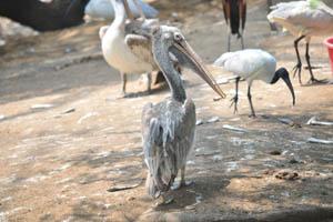 Пятнистый пеликан