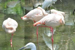 Фламинго спит стоя на одной ноге