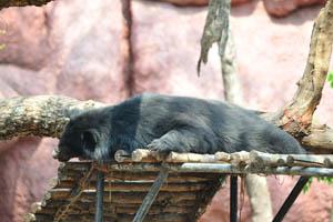 Гималайский чёрный медведь спит