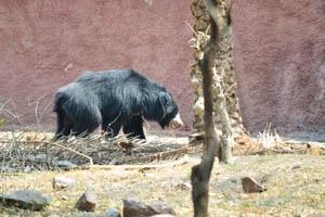 Гималайский чёрный медведь