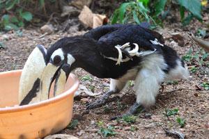 Тукан ест из миски