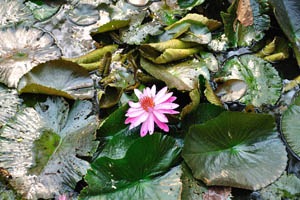 Водяные лилии в цвету