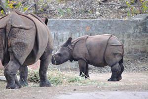 Детёныш Индийского носорога