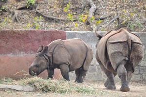 Детёныш Индийского носорога ест сено