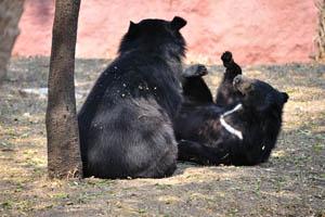 Гималайские чёрные медведи: дружба