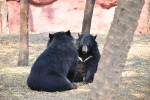 Гималайские чёрные медведи смотрят друг на друга