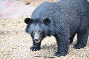 Огромный гималайский чёрный медведь