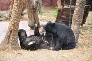 Медведь в смешном положении