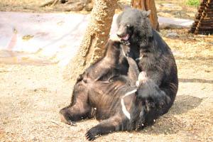 Медведи иногда используют Кунг-фу