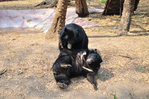 Гималайские чёрные медведи