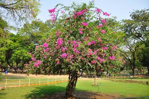 Бумажный цветок (Бугенвиллия Глабра)