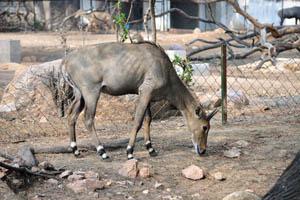 Нилгаи (Boselaphus tragocamelus)