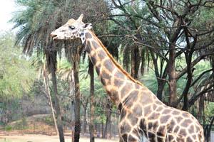 Жираф, крупным планом
