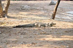 Крокодил на земле