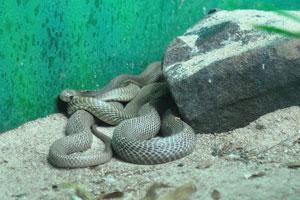 Обычная крысиная змея