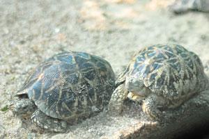 Индийская звёздная черепаха