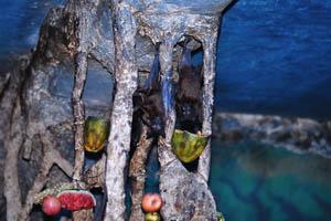 Бурая фруктовая летучая мышь