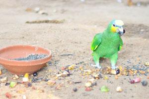 Зеленый попугай с жёлтыми щёчками