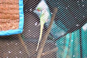 Попугай Роуз-ринжд Паракет (Psittacula krameri)