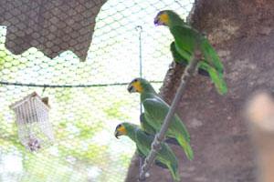 Три амазонских попугая