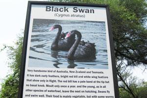 Черный лебедь (Cygnus atratus), информационное табло