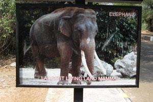 Слон является самым крупным живущим наземным млекопитающим