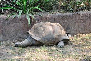 Гигантская Галапагосская черепаха