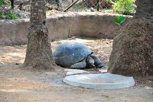 Галапагосская черепаха (Chelonoidis nigra)