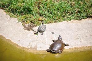 Малые водные черепахи