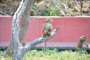 Длиннохвостый бабуин