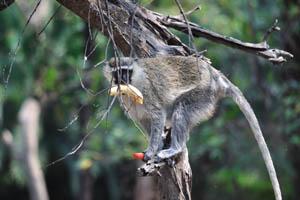 Нилгири лангур с бананом