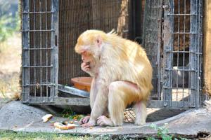 Оранжевая обезьяна