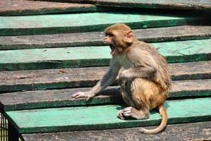 Маленькая обезьянка зевает
