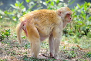 Странная обезьяна