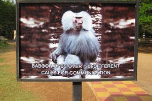 Бабуин использует более 30 различных звуков для общения