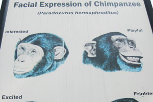 Выражение лица шимпанзе