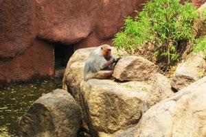 Священный бабуин