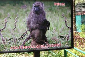 Самец бабуина может убить леопарда!