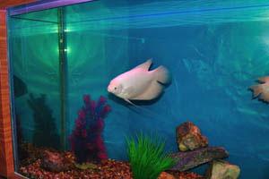 Рыбка Альбино Оскар