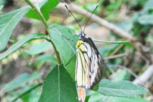 Бабочка с жёлто-бело-оранжевыми крыльями