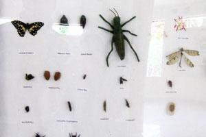 Инсектариум: бабочка семейства парусников