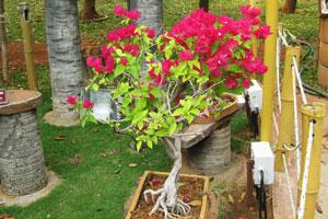 Бугенвиллея в цвету