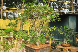 Гибискус роза-синензис (Китайская роза), 15 лет