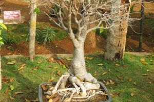 Адансония дигитата (Баобаб дерево), 17 лет