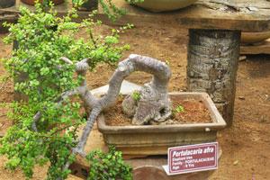 Портулакария афра (слоновье дерево), возраст - 9 лет