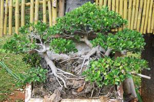Фикус с голыми корнями
